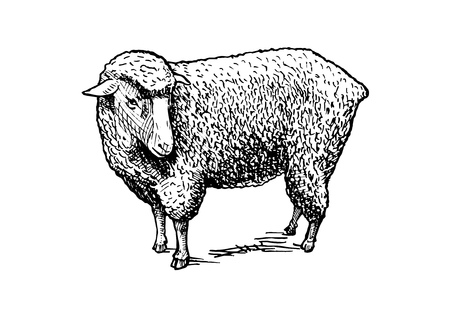 Vector hand drawn illustration of sheep in vintage engraved style. isolated on white. Illustration
