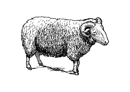 Vector hand drawn illustration of sheep, ram. in vintage engraved style. Black and white, isolated on white. Illustration
