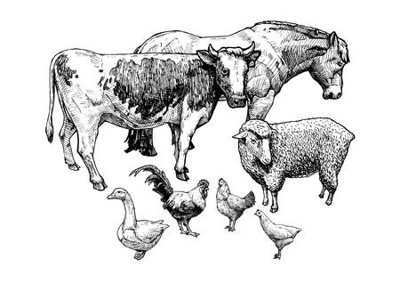Vector Mano Dibujada Ilustración De Ovejas En Estilo Vintage Grabado ...