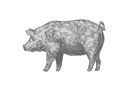 Vector hand drawn illustration of pig in vintage engraved style. Isolated on white background.