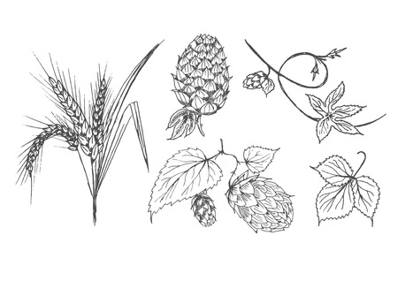 Vector hand drawn set of brewing agricultural plants. Hop, hopbind and leaves, wheat and it's ears. Isolated on white background.
