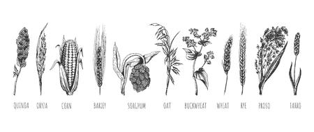 Ensemble d'épis de céréales dessinés à la main de vecteur. Blé, seigle, avoine, orge, millet commun, farro, quinoa, maïs, sarrasin, oryza, riz, sorgho. Isolé sur fond blanc. Vecteurs