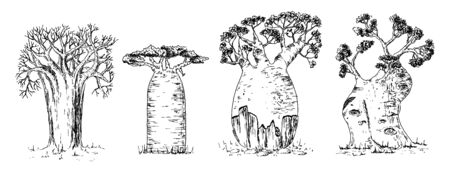 Vector hand drawn illustration of giant thick African savanna baobab trees set in vintage engraved style. Isolated on white background. Ilustrace