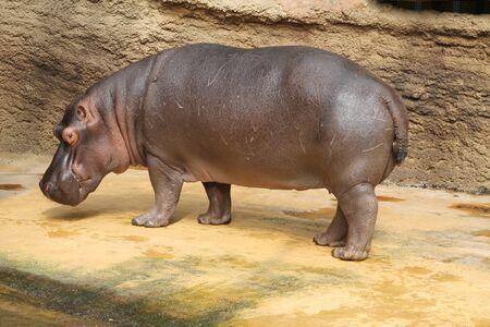 Photo with big hippopotamus on the water photo