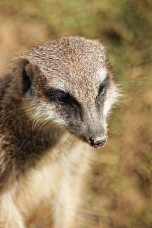 erected: Photo with closeup muzzle of meerkat