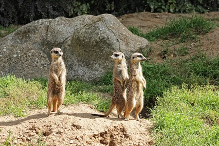 mongoose: Photo with three standing meerkats Stock Photo