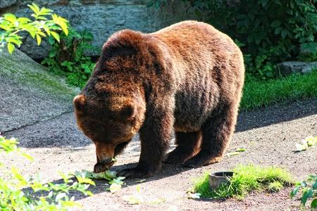 ursus: Photo with big brown bear Stock Photo
