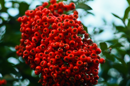 red berry photo