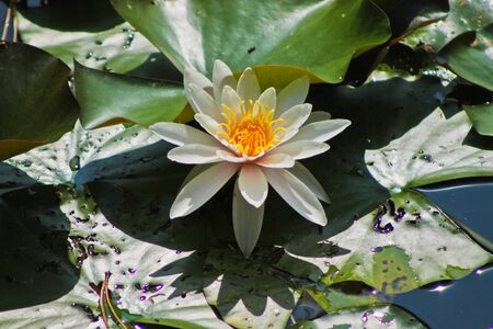 water lilly: Photo with big leafs and flower of the waterlily Stock Photo