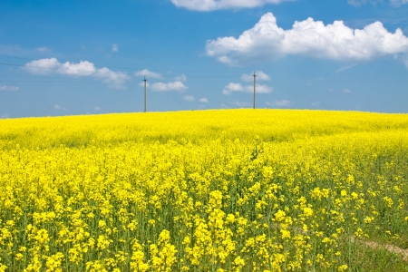 Beautiful landscape with yellow fields with flowers and blue sky photo