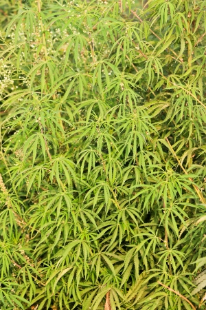 CLose-up photo with green cannabis photo
