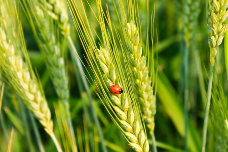 green wheat: Close-up photo with wheat