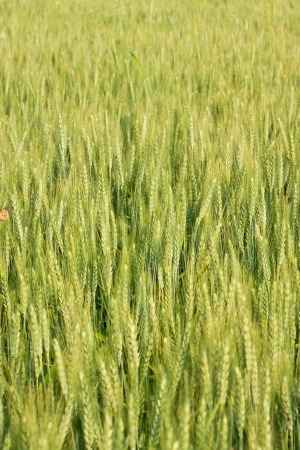 Close-up photo with wheat Stock Photo - 14483619