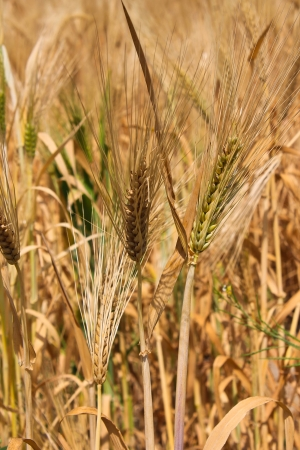 Close-up photo with wheat photo