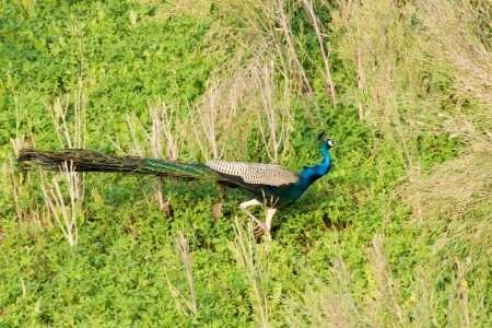 indian peafowl: Photo with wil peacock on the grass