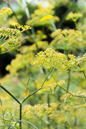 fennel seeds: Close up photo with green herbals Stock Photo