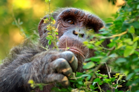 simian: Wild animals chimpanzee in the Zoo  Stock Photo
