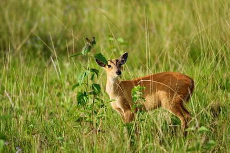ugliness:  barking deer baby