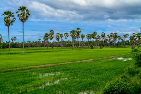 traditional textured: Thailand rice fields Stock Photo