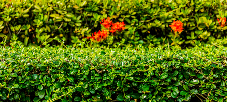 shrubbery: Shrubbery in the garden.A beautiful garden with various species of ornamental gardens.