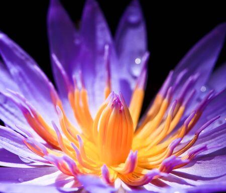Violet Lotus Stock Photo - 7969436