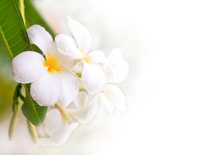plumeria on a white background: Plumeria