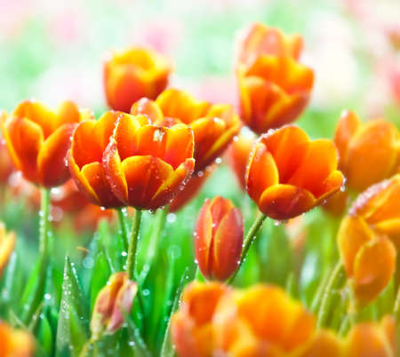 Dews and beautiful tulips with lighting at Northern of Thailand photo