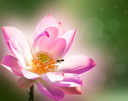 lake flowers: Pink Lotus