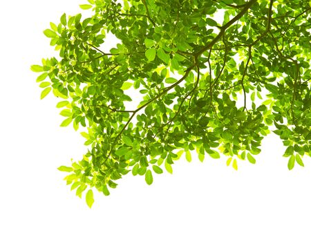 Green leave on white background Stock Photo - 8217100