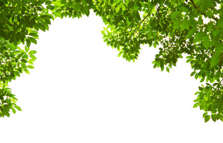 Green leave on white background Stock Photo - 8217082