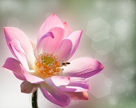 Pink Lotus Stock Photo - 8319636