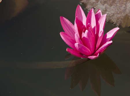 lotus Stock Photo - 8556328