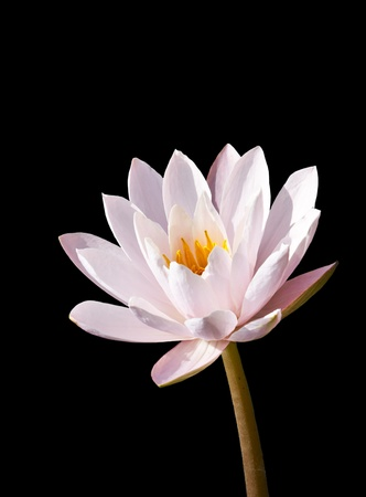 isotated: lotus on black background photo