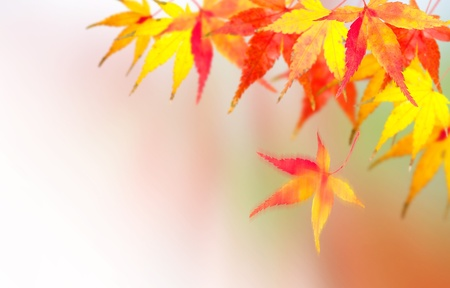 changing color: Autumnal at Japen, Mable leaves will changed from green to Red. Stock Photo