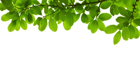 botanical branch: Green leave on white background