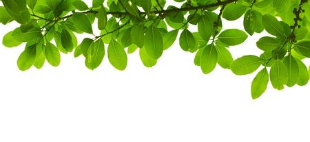 hojas de arbol: Salir de verde sobre fondo blanco