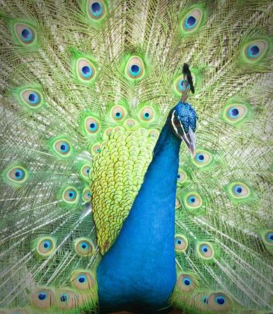 Peacock Stock Photo - 9375952