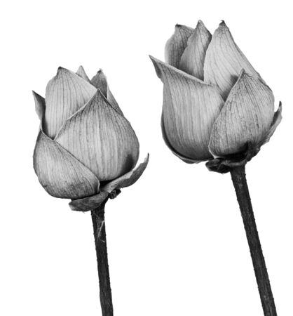 Black and white lotus Stock Photo - 9884425
