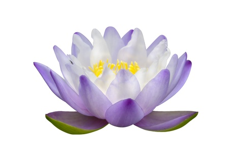 water lilies: Lotus