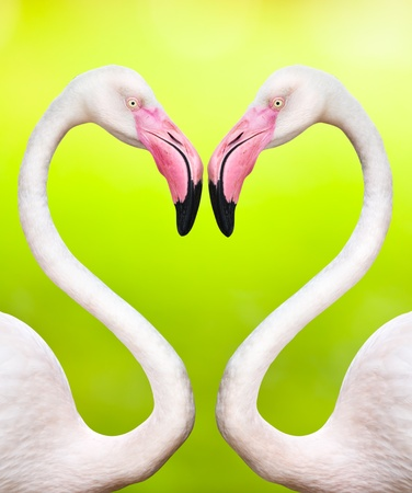 couple of flamingos make a heart shape photo
