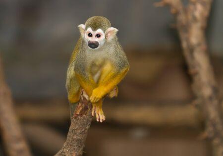 squirrel monkey: Squirrel monkey in a branch Stock Photo