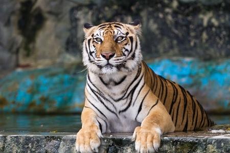 sumatra: Asia Tiger