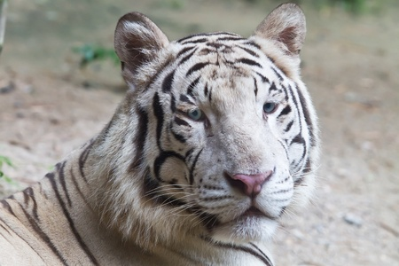 subspecies: White tiger