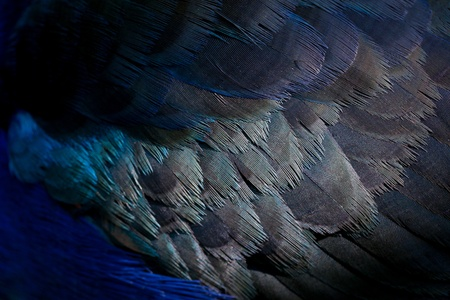 black plumage: close up feather texture Stock Photo