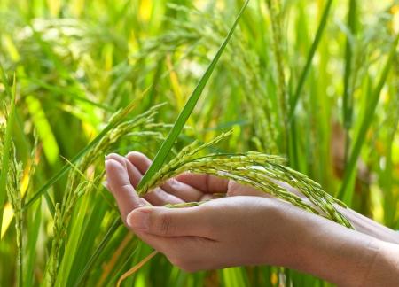 Gros plan sur la main du riz en paddy Banque d'images