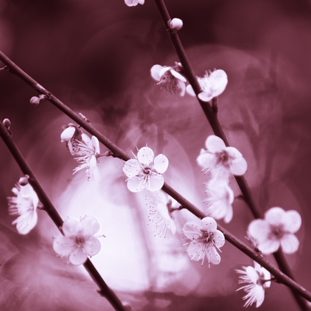 Spring cherry blossoms on pink background photo