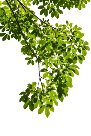 foliage tree: Isolated green leaf on white background