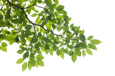 XXXL: isolated Green leaf on white background