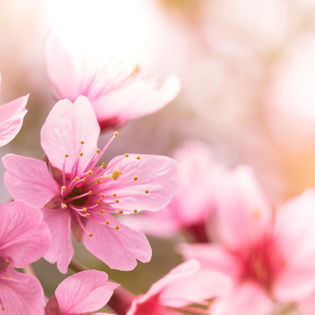 close up image: Pink cherry blossom sakura