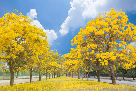 The romantic tunnel of yellow flower trees stock photo picture and stock photo the romantic tunnel of yellow flower trees mightylinksfo